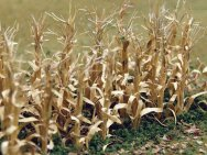 Dried Corn Stalks (30 per pack)